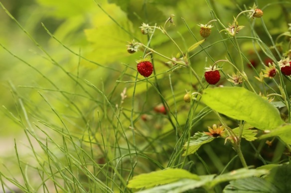 Wild strawberries, 28 June 2015