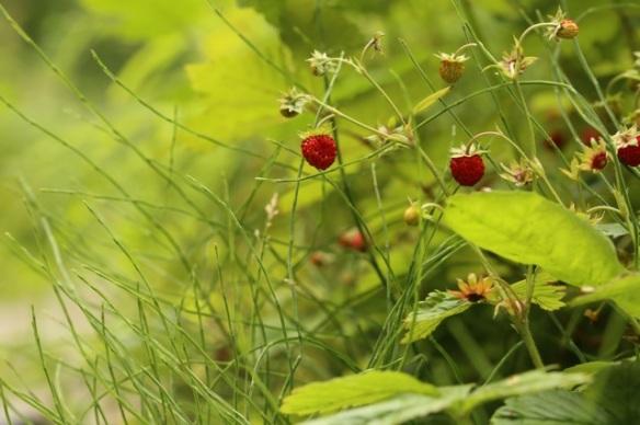 Wild strawberries, 28 June 2015