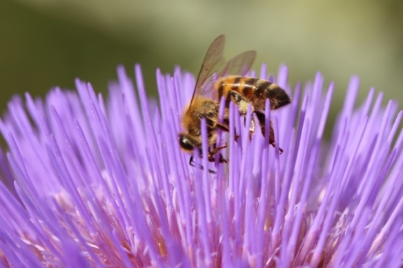 Artichoke flower with honeybee, 1 August 2015