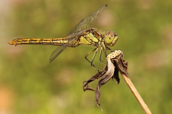 Black-tailed skimmer dragonfly female, on 9 August 2015