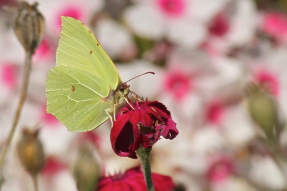 Brimstone butterfly, 29 August 2015