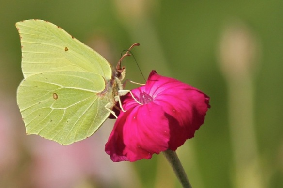 Brimstone butterfly, on 29 August 2015