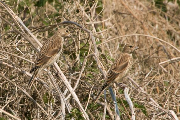 Common linnet youngsters, 2 August 2015