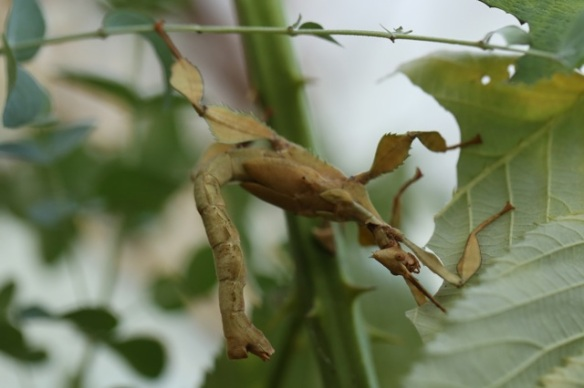 Giant prickly stick insect, adult, 1 August 2015