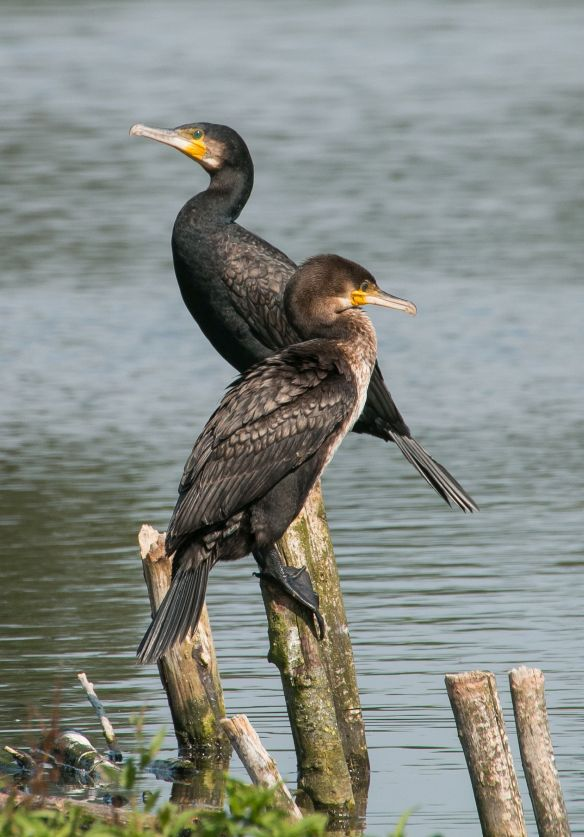 Great cormorants, 2 August 2015