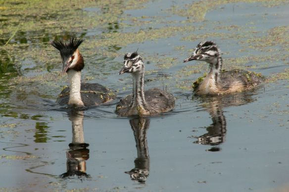 Great crested grebe and chicks, 2 August 2015