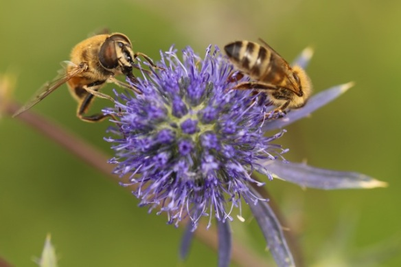 Honeybees on flat sea holly flower, 1 August 2015