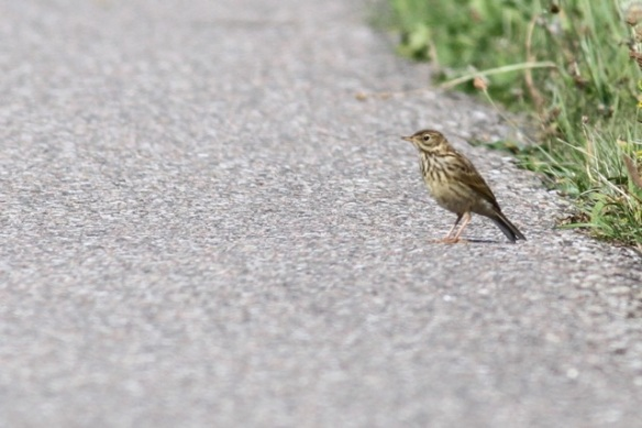 Meadow pipit, on road, 23 August 2015