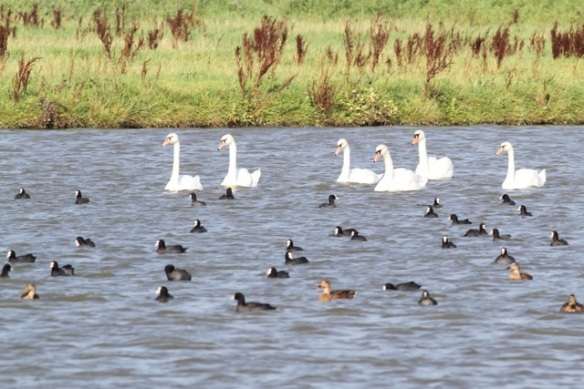 Mute swans, coots, mallards, 23 August 2015