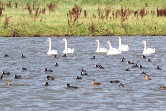 Mute swans, coots, mallards, 23 August 2015