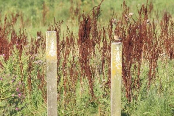 Northern wheatear, 23 August 2015