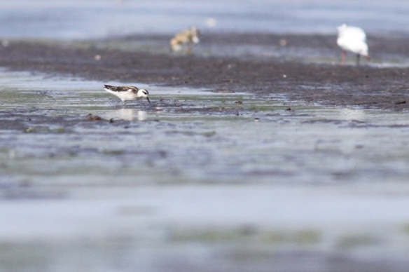 Red-necked phalarope, 23 August 2015