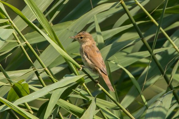 Reed warbler, 2 August 2015