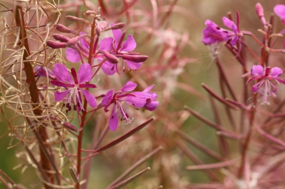 Rosebay willowherb, 1 August 2015