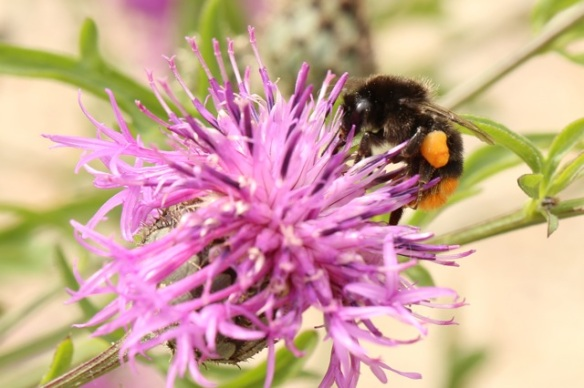 Brown knapweed with red-tailed bumblebee female, 1 August 2015