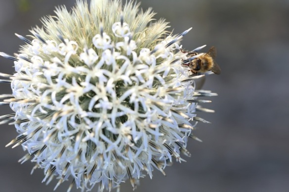 Saw-wort flower with honeybee, 1 August 2015