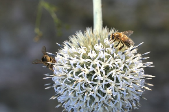 Saw-wort flower with honeybees, 1 August 2015