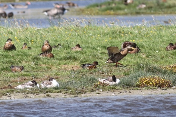 Shelducks, wigeon and mallards, 23 August 2015