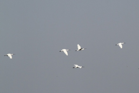 Spoonbills flying, 23 August 2015