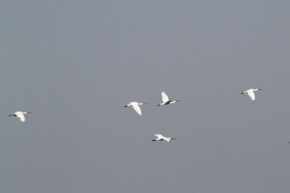 Spoonbills flying, 23 August 2015