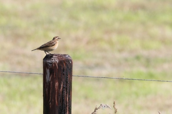 Whinchat on pole, 23 August 2015