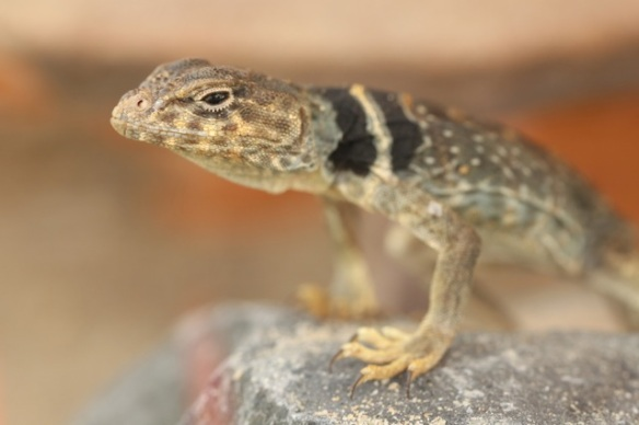 Eastern collared lizard, 7 September 2015