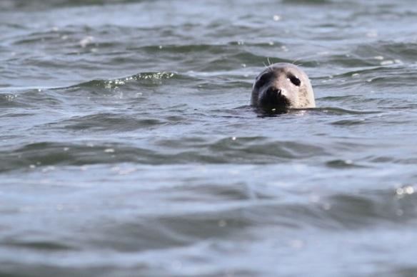 Harbour seal, 29 September 2015