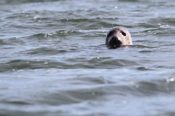 Harbour seal, 29 September 2015