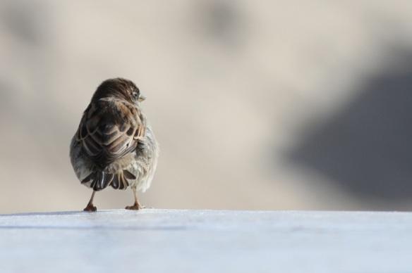 House sparrow, Vlieland, 29 September 2015