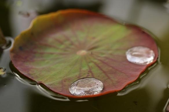 Indian lotus, 7 September 2015