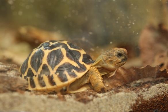 Indian star tortoise, 7 September 2015