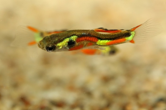 Killifish, 7 September 2015
