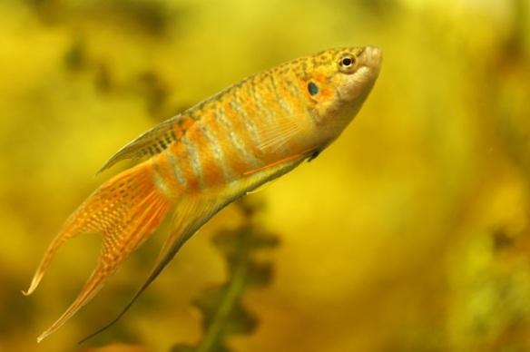 Paradise fish male, 7 September 2015