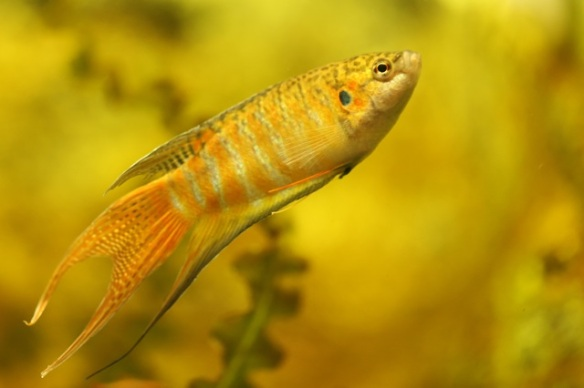 Paradise fish male, 7 September 2015