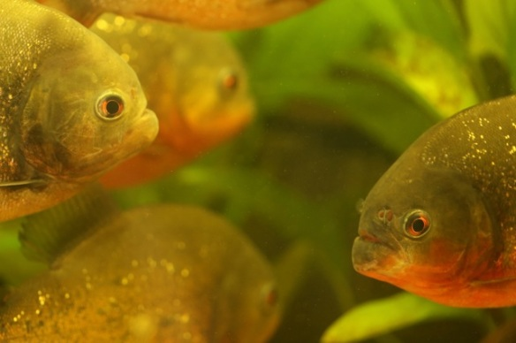 Piranhas, 7 September 2015