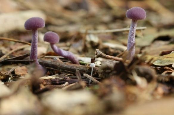 Amethyst deceiver fungi, Vlieland, 27 September 2015