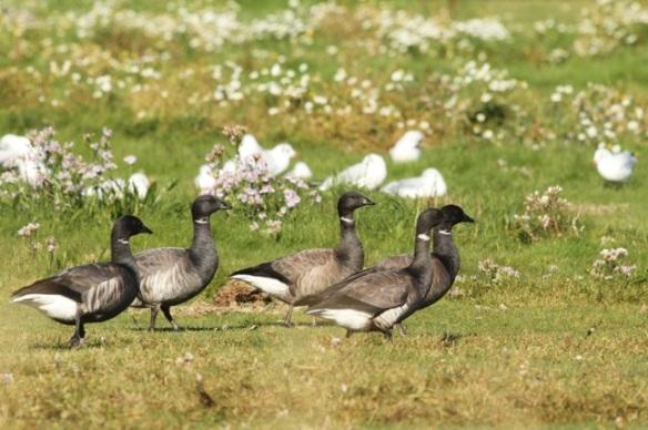 Brent geese, 27 September 2015