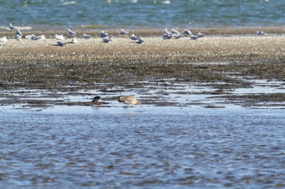 Curlew and redshank, Vlieland, 1 October 2015
