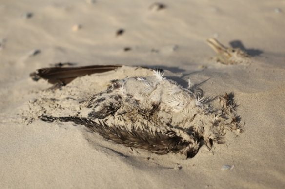 Dead great cormorant, 28 September 2015
