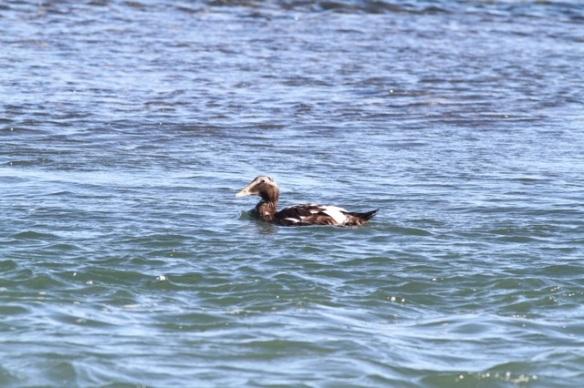 Eider duck male, Vlieland, 1 October 2015