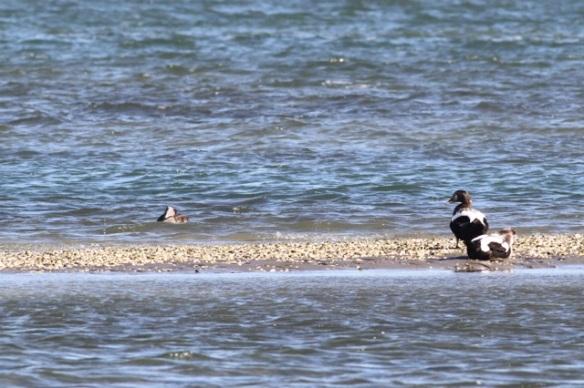 Eider duck males and female, Vlieland, 1 October 2015