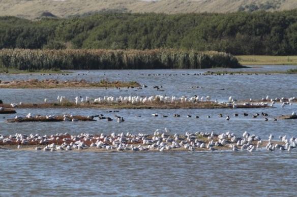 Gulls and spoonbills, 30 September 2015