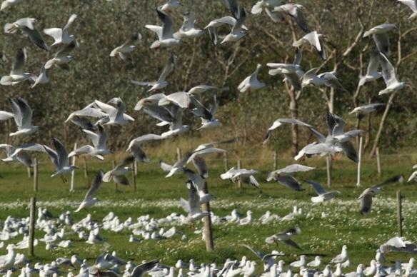 Gulls flying, 27 September 2015