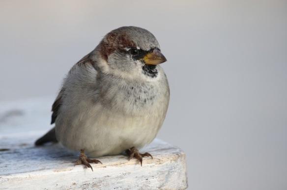 House sparrow male, Vlieland, 1 October 2015