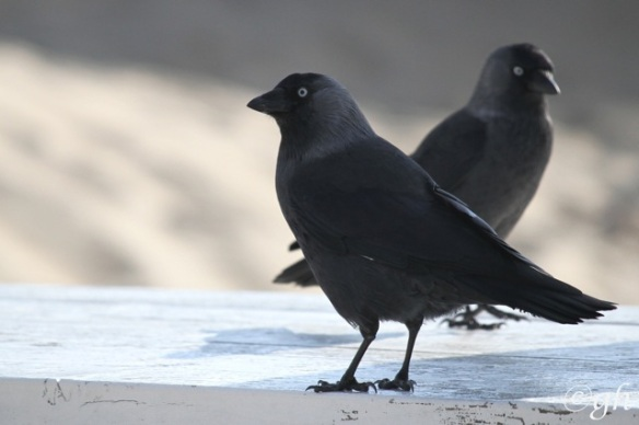 Jackdaws, Vlieland, 1 October 2015