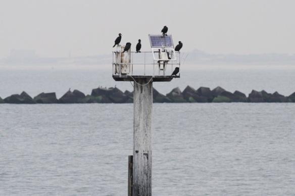 Maasvlakte, great cormorants, 24 October 2015
