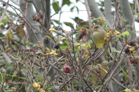 Maasvlakte, greenfinch, 24 October 2015