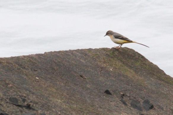Maasvlakte, grey wagtail, 24 October 2015