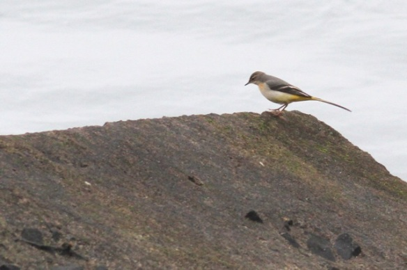 Maasvlakte, grey wagtail, 24 October 2015