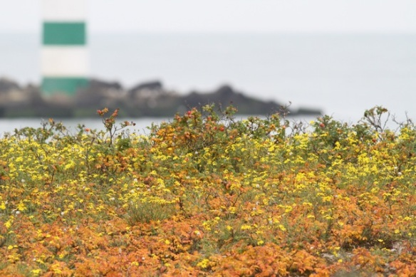 Maasvlakte, narrow-leaved ragwort and Japanese roses, 24 October 2015